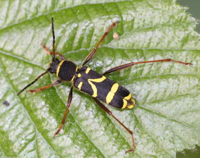 Wasp Beetle  - Clytus arietis - David Nicholls - Croft Hill - 12 May 2011