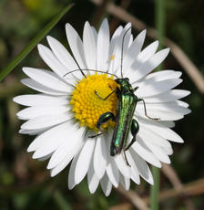 Swollen-thighed Beetle  - Oedemera nobilis - David Nicholls - Bagworth Heath - 19 May 2011