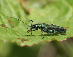 Oedemera nobilis - David Nicholls - Bagworth Heath - 19 May 2011