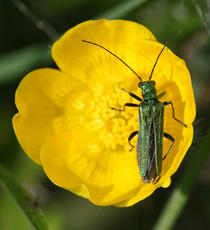 Oedemera nobilis - David Nicholls - Bagworth Heath - 19 May 2011 - female