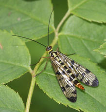 Panorpa communis - David Nicholls - Bagworth Heath - 19 May 2011