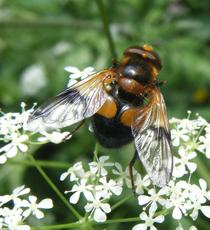 Volucella inflata - Graham Calow - Burbage Common and Woods - 25 May 2011 - may be first VC55 record