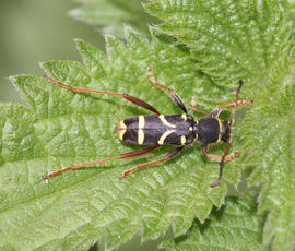 Clytus arietis - David Nicholls - Rutland Water - 27 May 2011