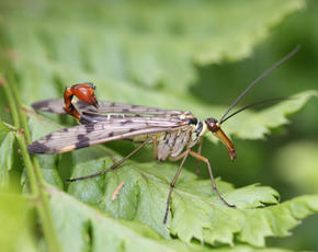 Panorpa communis - David Nicholls - Rutland Water - 27 May 2011 - male