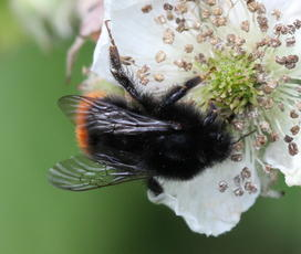 Bombus lapidarius - David Nicholls - New Lount - 09 June 2011