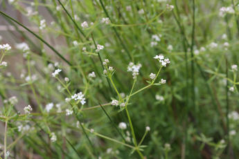 Marsh-bedstraw - Galium palustre - David Nicholls - New Lount - 09 June 2011