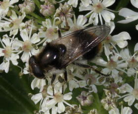 Cheilosia illustrata - David Nicholls - Wirlybones Wood, Ratby - 10 June 2011