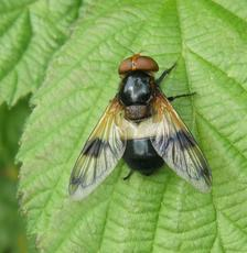 Volucella pellucens - Graham Calow - Broughton Astley - 24 June 2011