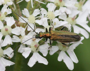 Oedemera nobilis - David Nicholls - Cloud Wood - 24 June 2011 - female