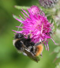 Bombus lapidarius - David Nicholls - Cloud Wood - 24 June 2011