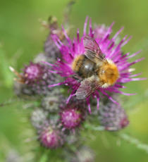 Bombus pascuorum - David Nicholls - Cloud Wood - 24 June 2011