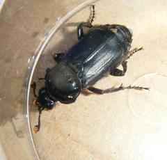 Nicrophorus humator - Graham Calow - Sapcote garden1 - 03 July 2011