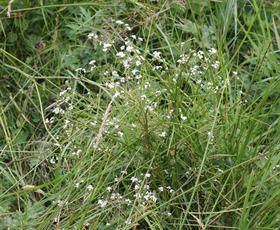 Galium palustre - David Nicholls - Lea Meadows - 07 July 2011