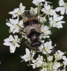 Cheilosia illustrata - David Nicholls - Fosse Meadows - 08 July 2011