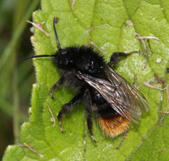 Bombus lapidarius - David Nicholls - Fosse Meadows - 08 July 2011