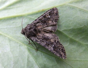 Mamestra brassicae - Ron.stevens - Broughton Astley - 08 July 2011