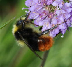 Bombus lapidarius - David Nicholls - Lea Meadows - 07 July 2011 - male