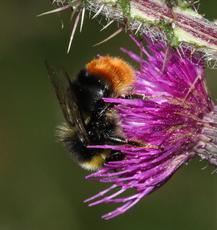 Bombus lapidarius - David Nicholls - Ulverscroft - 14 July 2011