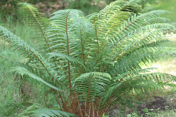 Dryopteris dilatata - David Nicholls - Ulverscroft - 14 July 2011