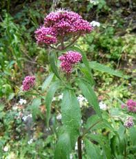 Eupatorium cannabinum - Graham Calow - Jubilee Walk, Leire - 02 August 2011