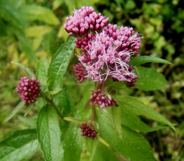 Eupatorium cannabinum - Graham Calow - Jubilee Walk, Leire - 05 August 2011