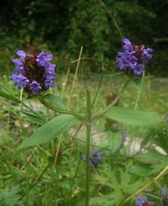 Prunella vulgaris - Graham Calow - Jubilee Walk, Leire - 05 August 2011