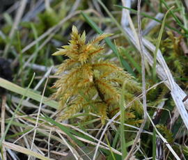 Tree-moss - Climacium dendroides - Steve Woodward - Ulverscroft - 17 February 2006