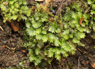 Common Pocket-moss - Fissidens taxifolius - Steve Woodward - New Lount - 14 November 2010