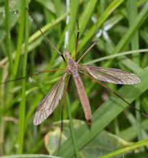 Tipula paludosa - David Nicholls - Ulverscroft - 15 September 2011