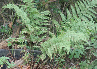 Broad Buckler-fern - Dryopteris dilatata - David Nicholls - Ulverscroft - 15 September 2011