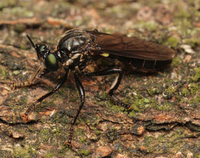 Violet Black-legged Robber Fly  - Dioctria atricapilla - Steve Woodward - Ulverscroft - 14 June 2011