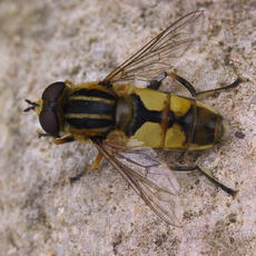 Helophilus hybridus - David Gould - Leicester garden - 06 August 2006 - male