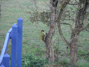 Picus viridis - Jean - Broughton Astley - 03 November 2011 - Woodpecker on Tree Trunk