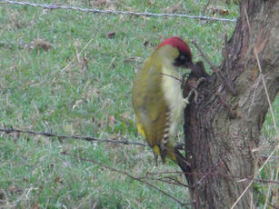 Picus viridis - Jean - Broughton Astley - 03 November 2011 - Feeding in tree trunk