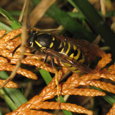 Vespula rufa - David Gould - Martinshaw Wood - 09 September 2011