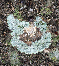 Lecanora muralis - David Nicholls - Martinshaw Wood - 12 November 2011