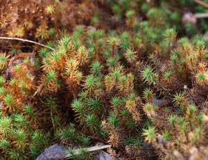 Polytrichum commune - David Nicholls - Bagworth Heath Woods - 12 January 2012