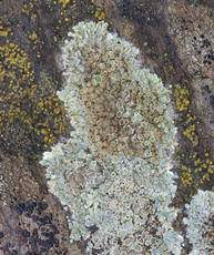 Lecanora muralis - David Nicholls - Bagworth Heath Woods - 12 January 2012