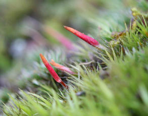Polytrichum piliferum - David Nicholls - Bradgate Park - 19 January 2012