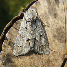 Acronicta psi - Graham Calow - Sapcote garden1 - 27 July 2011 - confirmed by gen det