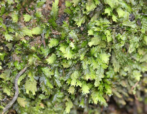 Common Pocket-moss - Fissidens taxifolius - David Nicholls - Martinshaw Wood - 23 February 2012