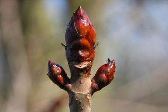 Aesculus hippocastanum - David Nicholls - Market Bosworth Country Park - 01 March 2012