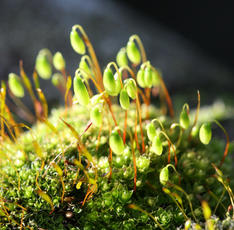 Capillary Thread-moss - Bryum capillare - David Nicholls - Market Bosworth Hall - 01 March 2012