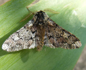 Biston strataria - Graham Calow - Sapcote garden1 - 10 March 2012