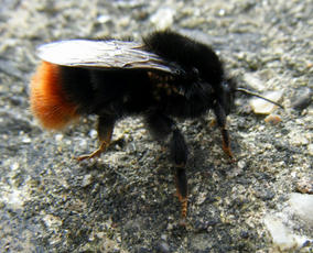 Bombus lapidarius - JamesCalow - Sapcote - 09 March 2012 - queen