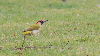 Green Woodpecker - Picus viridis - Rod Baker - Rutland Water - 14 March 2012