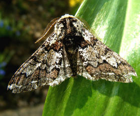 Oak Beauty  - Biston strataria - Graham Calow - Sapcote garden1 - 20 March 2012