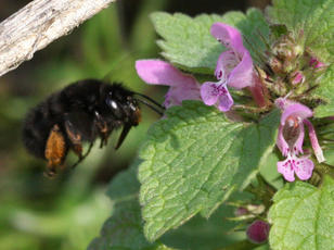 Anthophora plumipes - David Nicholls - Rutland Water - 22 March 2012 - female