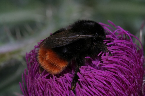 Bombus lapidarius - admin - test - 01 March 2012