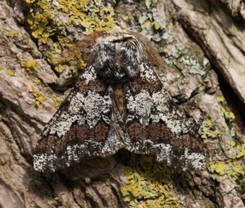 Oak Beauty  - Biston strataria - David Nicholls - Ratby garden - 30 March 2012